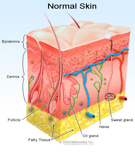A chunk of normal skin in three layers: epidermis, dermis, and fat