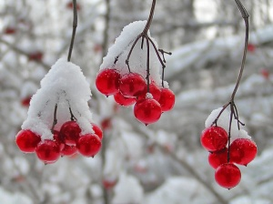 Picture of rosehip blooms covered in snow